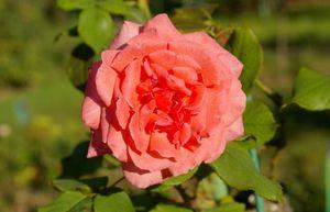 15 Лучших сортов роз тантау