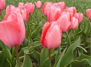20 Лучших тюльпанов дарвиновых гибридов