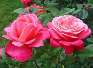 20 Самых лучших красных чайно-гибридных роз для вашей дачи