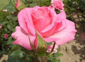 20 Самых лучших розовых, малиновых, сиреневых чайно-гибридных роз для вашей дачи