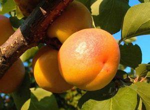 Абрикос краснощекий: описание, выращивание и уход