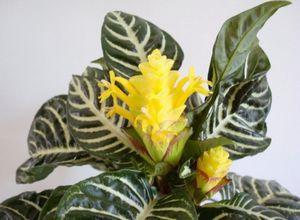 Афеландра – экзотическое растение на вашем подоконнике