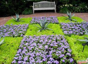 Агератум мексиканский – нежный цветок для украшения клумб и сада