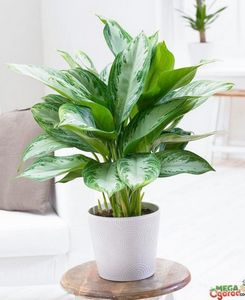 Аглаонема - посадка и уход за тропическим растением
