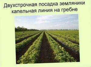 Агротехника земляники
