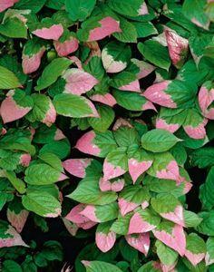 Актинидия китайская: тропическое растение в вашем саду