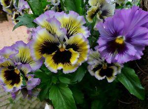 Анютины глазки: описание вида, популярные сорта, особенности выращивания