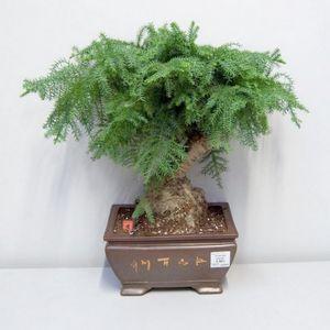Араукария: правильный уход за хвойным растением
