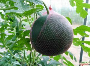 Арбуз огонек: характеристика сорта и агротехника