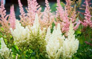 Астильба арденса: особенности выращивания куста