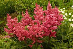 Астильба: сорта и условия выращивания