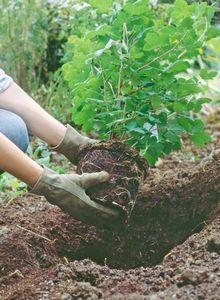 Астра кустарниковая: сорта, размножение и уход за растением