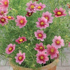 Астра ромашковая – изящное растение для украшения сада