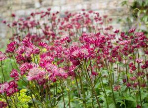 Астранция: характеристика и выращивание цветка
