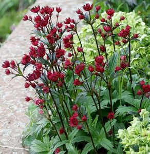 Астранция в саду: посадка и уход за многолетником