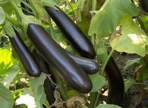 Баклажаны: сорта, посев на рассаду и уход