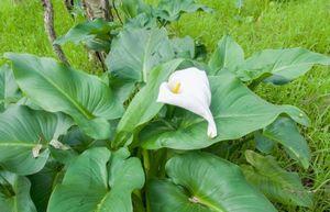 Белокрыльник болотный - особенности выращивания каллы болотной