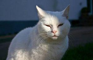 Белые коты и кошки — особенности характера и ухода, фото