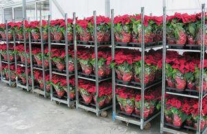 Бизнес идеи и нюансы по выращиванию роз в теплице
