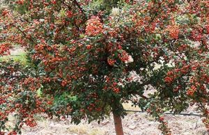 Боярышник однопестичный - красивый и полезный кустарник в саду