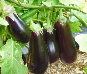 Болезни и проблемы при выращивании баклажана в домашней теплице