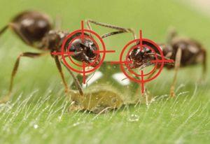 Борьба с муравьями на садовом участке, даче