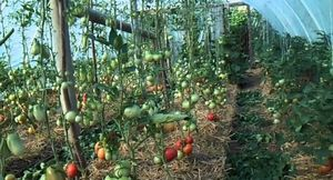 Чем мульчировать томаты в домашней теплице