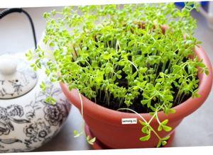 Чем полезен базилик и как его выращивать
