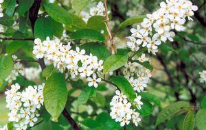 Черемуха обыкновенная – украшение вашего сада