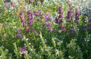 Чернушка посевная - лекарственное и пряное растение на вашем участке
