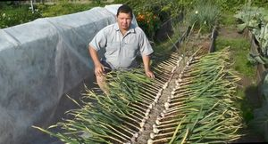 Чеснок в теплице: выращивание, подкормка, уход
