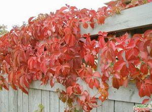 Чозения: особенности декоративного дерева, размножение и советы по уходу