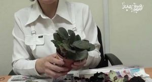Что делать, если у фиалки скручиваются листья?