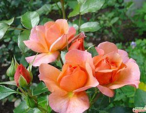 Что это такое полиантовая роза - описание, популярные сорта и выращивание