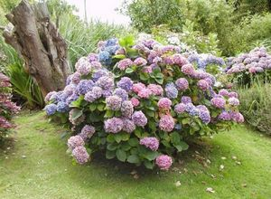 Что может быть красивее цветущей гортензии?