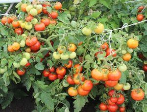 Чтобы томаты удались. пасынкам здесь не место