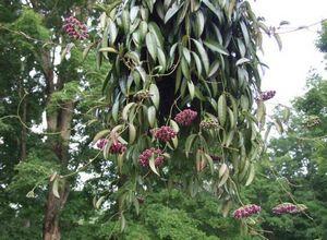 Цветок хойя – вечнозеленая тропическая красавица для вашего интерьера