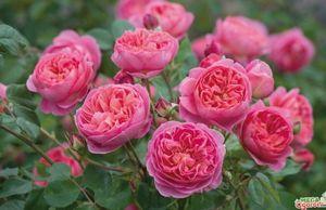 Цветок кальцеолярия: как правильно за ним ухаживать и разводить