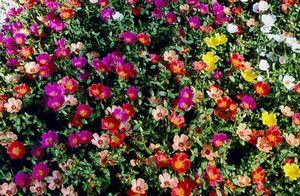 Цветок лобелия: описание, посадка и уход за растением