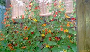 Цветок с бульвара капуцинов или великолепная настурция для вашей дачи