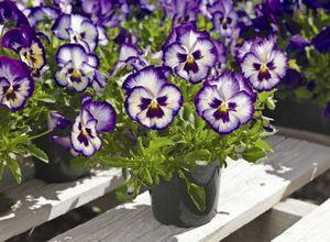 Цветок виала: сорта, уход и выращивание из семян