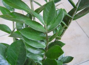 Цветок замиокулькас: строение, уход и размножение