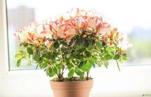 Цветы азалии - как ухаживать: полив, подкормка, обрезка и пересадка