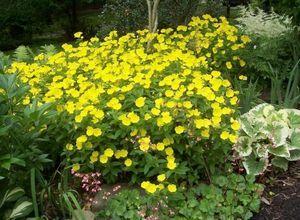 Цветы энотера: описание, сорта, посадка и уход
