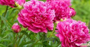 Цветы похожие на пионы: полезная информация о их выращивание