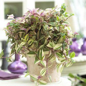 Цветы традесканция: красивое и неприхотливое комнатное растение