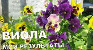Цветы «виола»: характеристики, особенности выращивания на продажу