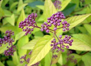 Декоративные, цветущие и плодовые кусты для дачи: описание и применение