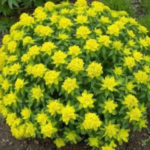 Декоративные кустарники цветущие всё лето