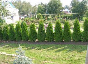Делаем зеленый забор: живую изгородь на даче